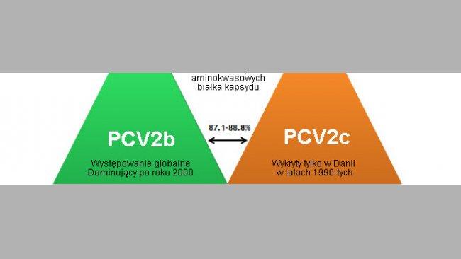 Główne genotypy PCV2 i ich pokrewieństwo na podstawie analizy białka kapsydu