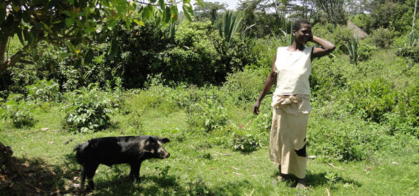 Świnia została przywiązana do drzewa, aby uniknąć szkód okolicznych upraw w Homa Bay, Kenia