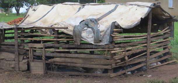 Przykład nieprawidłowego utrzymania świń, Uganda