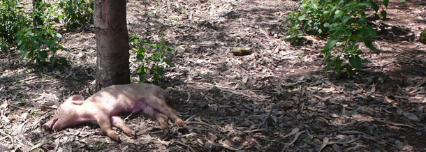 Wyrzucona martwa świnia, nie poddana odpowiedniej utylizacji
