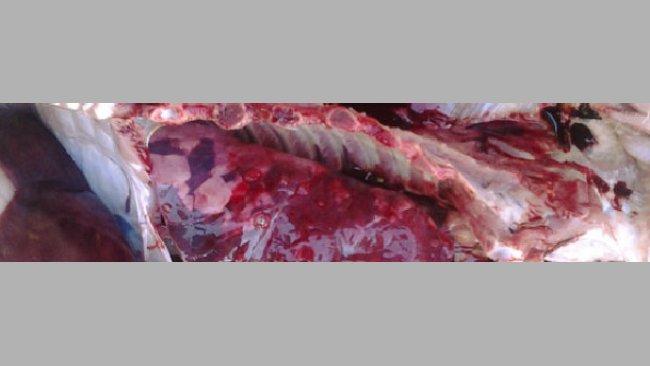 Zmiany w płucach świni