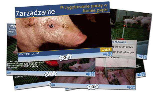 """3trzy3.pl zaprasza do odwiedzenia nowej sekcji """"Zarządzanie stadem"""", w której będą publikowane prezentacje na temat metod zarządzania stadem świń."""