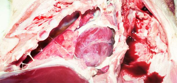 Badanie sekcyjne warchlaka ukazujące obecność nacieku i włóknika w opłucnej co doprowadziłoby do przewlekłego zapalenia.