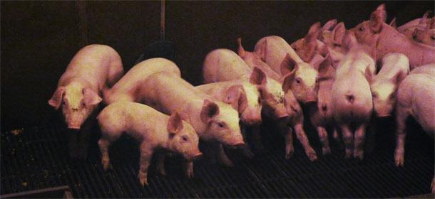 Heterogeneity of piglets at weaning