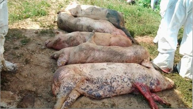 Carcasses of pigs infected with ASFV