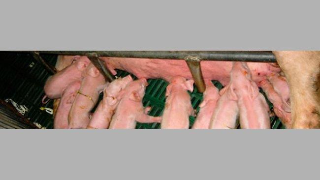 Pig litter
