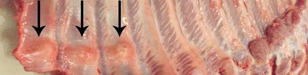 Widoczne liczne złamania żeber w częściach dystalnych, z uformowaną kostniną (strzałki).
