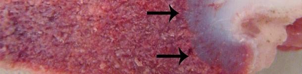 Niedobory witaminy D u świń (II)