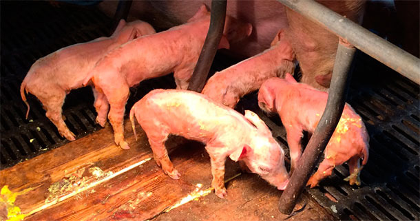 Severe watery yellow diarrhoea and dehydration in PED affected piglets