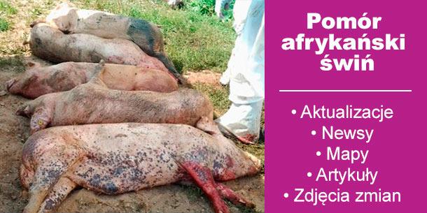 Pomór afrykański świń